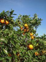 Laci hitvallas narancsfa